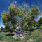 Stock Image : Old olive tree