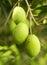 Stock Image : Olive fruit tree