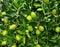Stock Image : Olive fruit