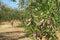 Stock Image : Olive grove in Greece