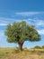 Stock Image : Olive Tree