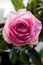 Stock Image : One pink rose close up