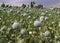 Stock Image : Opium Field