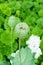 Stock Image : Opium poppy