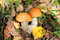 Stock Image : Orange Cap Boletus mushrooms growing in the forest