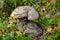 Stock Image : Orange-cap boletus with thick stem