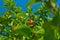 Stock Image : Orange fruit tree.