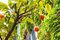Stock Image : Orange fruits on a tree near the house