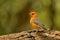 Stock Image : Orange-headed Thrush.