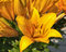 Stock Image : Orange Lilies After Rain