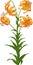 Orange Lily. Vector