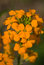 Stock Image : Orange Flowers