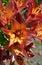 Stock Image : Orange tiger lily flowers