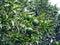 Stock Image : Orange tree