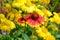 Stock Image : Orange and yellow coneflowers