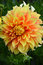 Stock Image : Orange and yellow dahlia flower