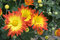 Stock Image : Orange and Yellow Fall Mums