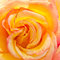 Stock Image : Orange yellow rose flower close up