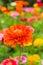 Stock Image : Orange Zinnia