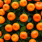 Stock Image : Oranges fruits at tangerine trees