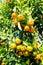 Stock Image : Oranges