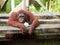 Stock Image : Orangutan