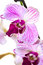 Stock Image : Orchid
