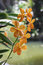 Stock Image : Orchid flowers