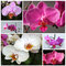 Stock Image : Orchidea phalaenopsis - mixture of varieties