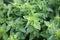 Stock Image : Oregano, origanum vulgare.