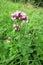 Stock Image : Oregano (Origanum vulgare)