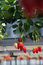 Stock Image : Organic strawberry