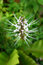 Stock Image : Orthosiphon Stamineus Herbs - Misai Kucing Herbs