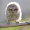 Stock Image : An owl