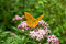 Stock Image : Painted Lady butterfly (Vanessa Cardui)