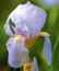 Stock Image : Pale lilac Bearded Iris from New England garden