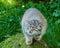 Stock Image : Pallas Cat