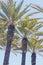 Stock Image : Palm tree row