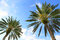 Stock Image : Palm Trees From Below