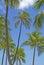 Stock Image : Palm trees