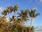 Stock Image :  Palmeras hawaianas