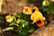 Stock Image : Pansy flower