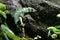 Stock Image : Panther chameleon (Furcifer pardalis)