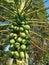 Stock Image : Papaya
