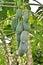 Stock Image : Papaya tree