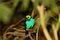 Stock Image : Paradise Tanager
