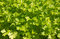Stock Image : Parsley (Petroselinum hortense) background