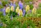Stock Image : Pasqueflowers and  lupine in Mount Rainier National Park