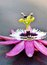 Stock Image : Passiflora