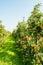 Stock Image : Path between modern low apple trees